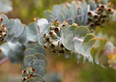 eucalyptus-kraueana